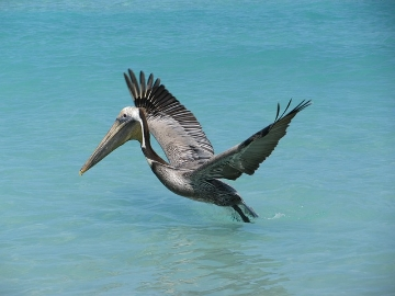 pelican on ocean